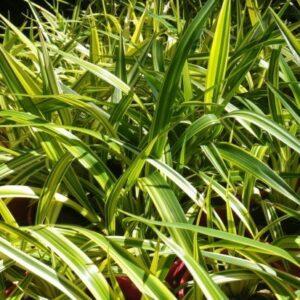 Dianella nigra Golden Chance - 2L (20/30)