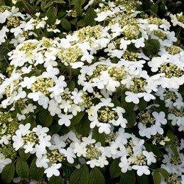 Viburnum plicatum Summer Snowflake - PB6.5 (30/40)
