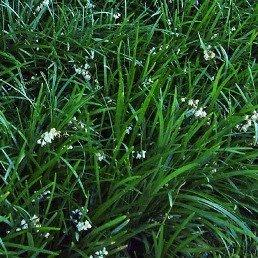 Ophiopogon planiscapus - PB5 (15/20)