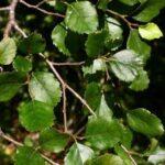 Nothofagus menziesii - PB12 (70/80)