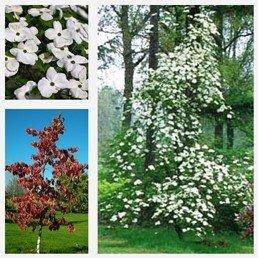 Cornus nuttallii Eddies White Wonder PB60 (200/240)