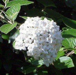 Viburnum x burkwoodii (Carlesii x Utile) - PB5 (30/40)