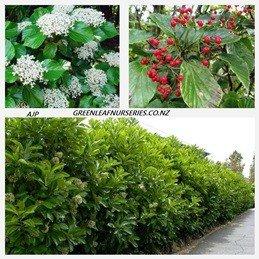 Viburnum japonicum - PB5 (30/40)