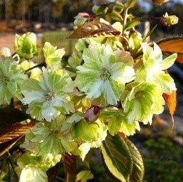 Prunus serrulata Ukon PB18 (120/200)