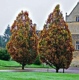 Quercus fastigiata PB40 (140/160)