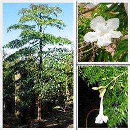 Radermachera sinica PB12 (100/110)