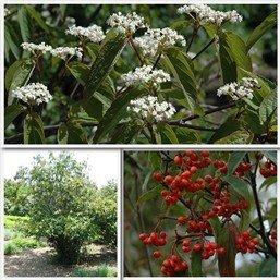 Viburnum setigerum PB6.5 (80/100)