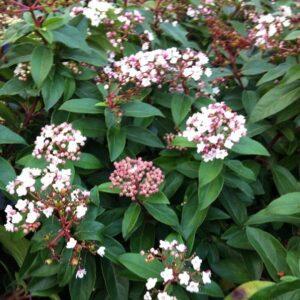 Viburnum tinus Eve Price PB6.5 (40/50)