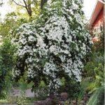 Cornus kousa Elizabeth Lustgarten  PB12 (70/80)