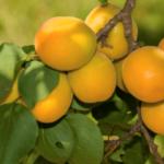 Apricot Garden Annie 500