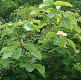 Magnolia rostrata - PB12 (60/80)