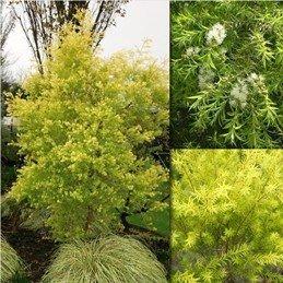 Melaleuca bracteata Revolution Gold - PB5 (20/30)