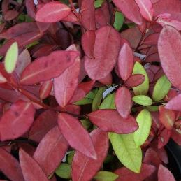 Pseudowintera colorata (red form) - PB5 (20/30)