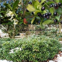Sarcococca humilis - PB5 (15/20)