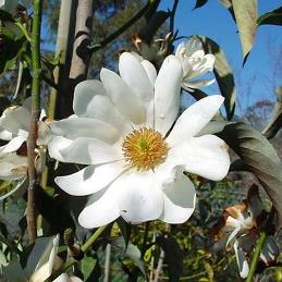 Michelia doltsopa - PB5/6.5 (60/80)