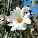 Michelia doltsopa PB12 (120/140)