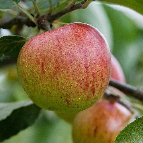 Apple Benoni