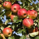 Apple Adams Pearmain