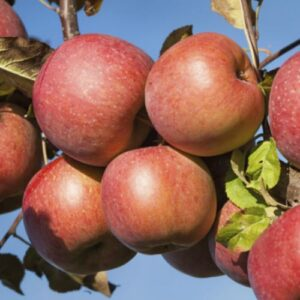 Apple Braeburn - pb12 (160/180).