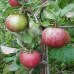 Apple Cornish Aromatic