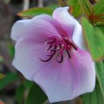 Tibouchina Moonstruck - PB5 (50/60)