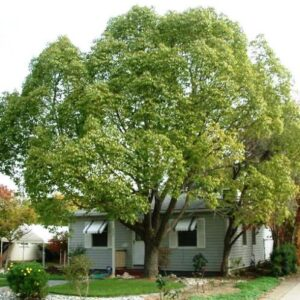 Cinnamomum camphora - pb18 (200/230)