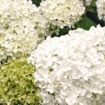 $13 For A Hydrangea Plant