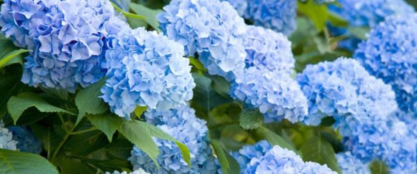 $13 For A Hydrangea Plant 2