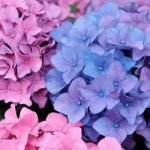 $13 For A Hydrangea Plant 3