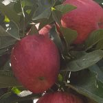 $20 For 5kg Of Royal Gala Apples
