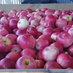 $20 For 5kg Of Royal Gala Apples 2