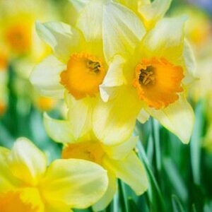 TreatMe Special - $25 for a Pack of Spring Flower Bulbs - 6 Options