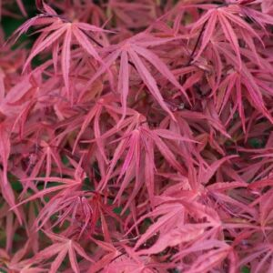 Acer pal. diss. Red Pygmy - pb40 (160/180)