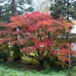 Auffallender Ahorn Mit Grazilen Blättern Und Schöner Herbstfarbe