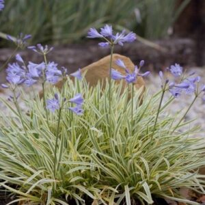 Agapanthus Golden Drop - 2ltr (10/12)