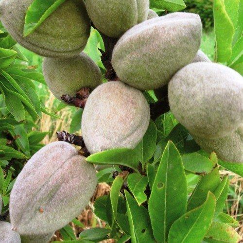 Almond CY750 500