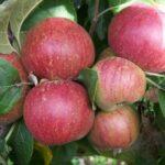Apple Kingston Black - pb12 (140/200)
