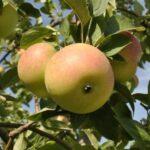 Apple Winter Banana - pb12 (170/200)