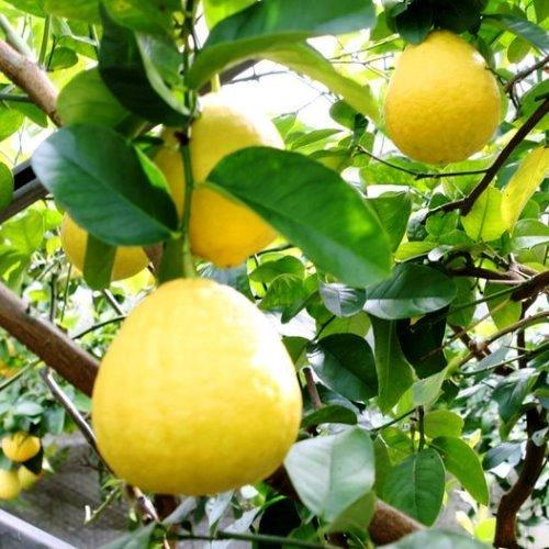 Lemon Ponderosa 500
