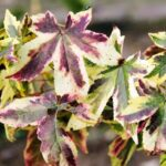 Liquidambar styraciflua Golden Treasure - pb28 (150/230)