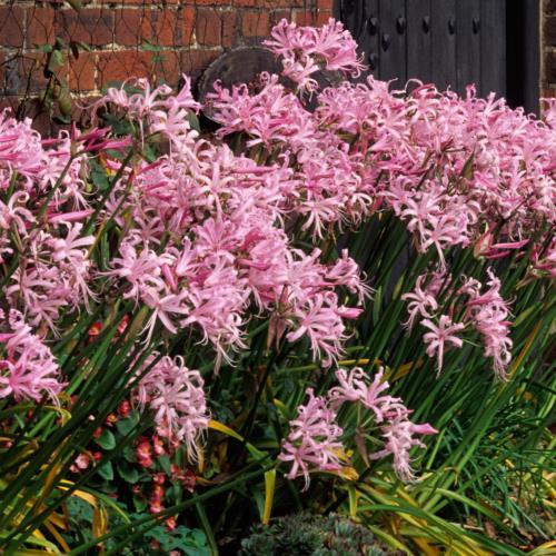 Nerine Pink Frills 500