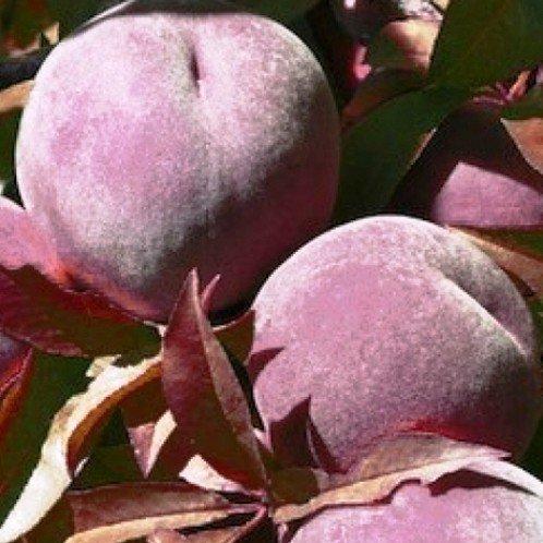 Peach Hiawatha 500
