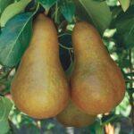 Pear Beurre Bosc 500