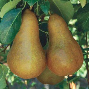 Pear Beurre Bosc - pb18 (200/240)