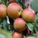 Apple Cox's Orange