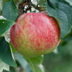 Apple Tydeman's Early Worcester - pb12 (100/150)