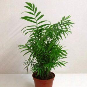 Chamaedora elegans (house plant)