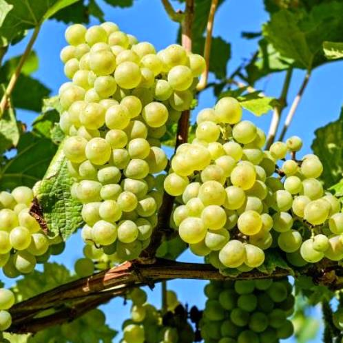 Grape July Muscat 500