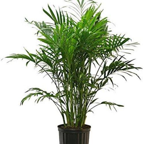 Howea Kentia Palm 500 2