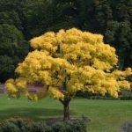 Fraxinus Exc Aurea Tree 500×334